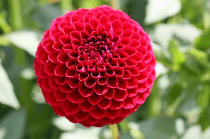 Dahlia Flowers in Pots Dahlia Pot Luck